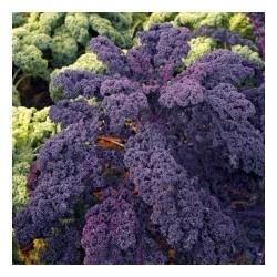 Λαχανίδα Kale REDBOR F1 2500 σπόροι