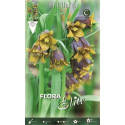 Βολβοί Φριτιλλάρια Uva vulpis (Φάκελος 15τμχ) 694059 -MaShop.gr
