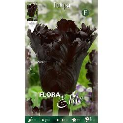 Τουλίπα Black Parrot (φάκ.10 βολβοί) 207556- MaShop.gr