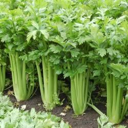 Σέλερυ TANGO 10.000 σπόροι