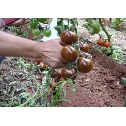 Τομάτα Μαύρη SHIR F1 100 σπόροι