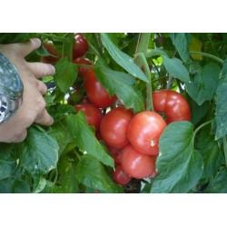 Τομάτα Ρόζ-Παραδοσιακή TORBAY F1 1.000 σπόροι