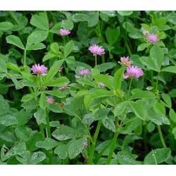 Αγριοτρίφυλλο ΠΕΡΣΙΚΟ (Trifolium Persicum)