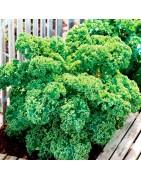 Αγορά σπόρων για Λαχανίδα kale από το MaShop.gr