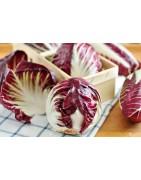 Αγορά σπόρων για Ραντίτσιο rosso από το MaShop.gr