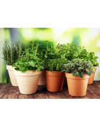 Αγορά σπόρων Αρωματικών Φυτών από το MaShop.gr